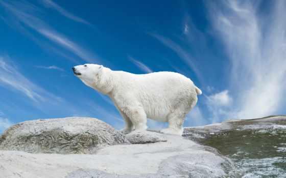 белый, медведь, камни, снег,