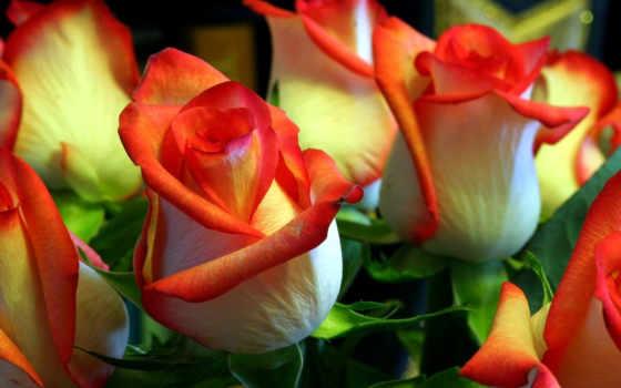 розы, дизайне, роз, роза, landscape, цветы, бутоны, букет,