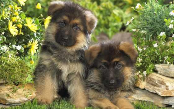 parede, filhotes, papéis, cachorro, papel, pastor, baixar, alemão, para, pin, cães,
