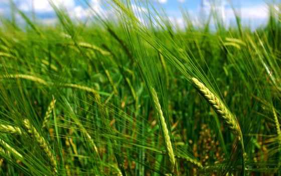поле, колосья, колоски, макро, пшеница, природа, колосок, категории, небо,