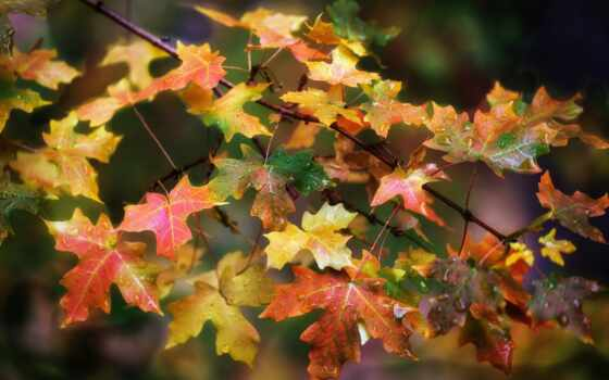 осень, leaf, коллекция, osinut, maple, листьев, смотреть, user, ed