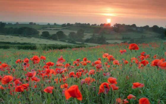 цветы, поле, маки