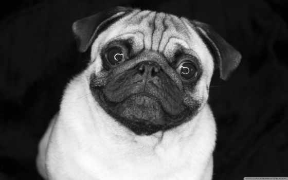 мопс, мопса, песик, собаки, фото, картинка, глазки, зооклуб, зооклубе,