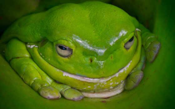 лягушка, зелёная, австралия, австралийская, макро,