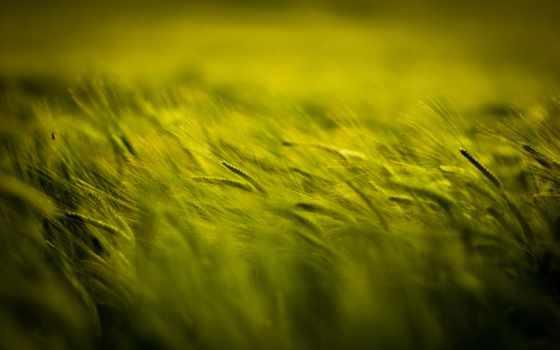 зеленое, поле, счастья, колоски, детство,