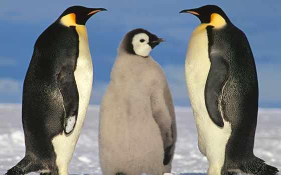 пингвин, книгу, красную, пингвины, международную, занесён, galapagos, птицы, может, птица, единственная,