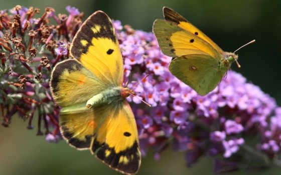 бабочки, бабочка, цветах, красивые, desktop, screensaver, widescreen, butterflies,