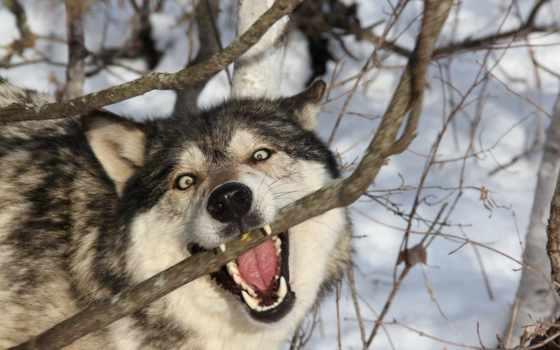 волк, winter, снег, лес, волки, природа,