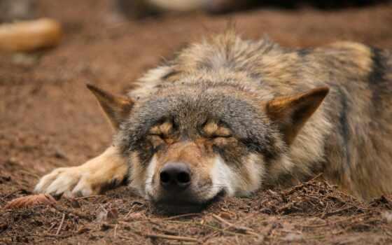 animal, волк, art, спать, природа, тихий, нега, deviantart, navigation