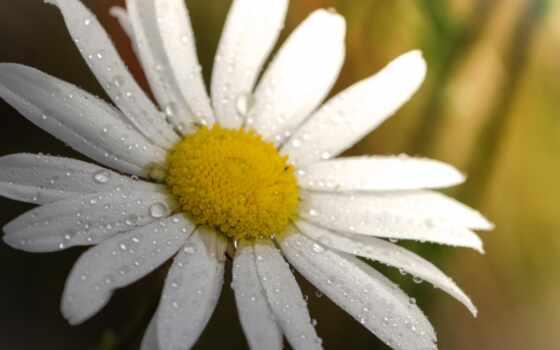цветы, природа, ромашка, добавить, пожаловаться, супер, alexey