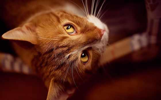 рыжие, коты