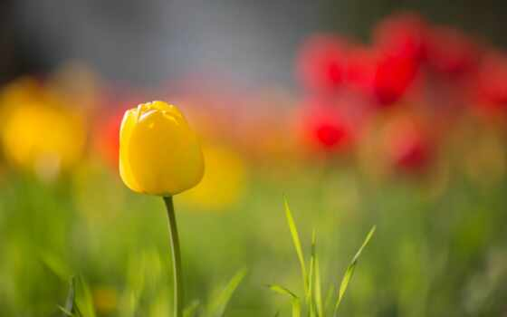 yellow, тюльпан, изображение