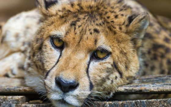 гепард, взгляд, хищник