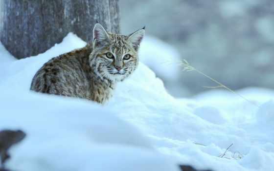 животные, рысь, зима, лес,