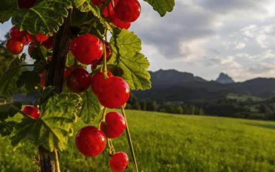 красивые, смородина, johannisbeere, природа, flickr,