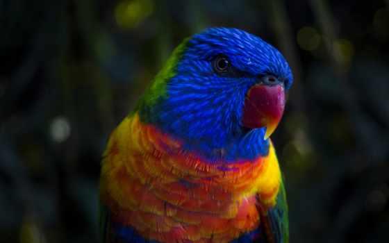 red, попугай, parakeet, blue, зелёный, yellow, free, птица,