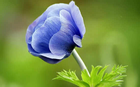 цветок, blue