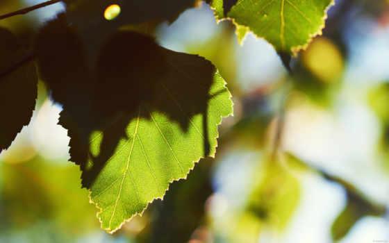 лист, утро, листья