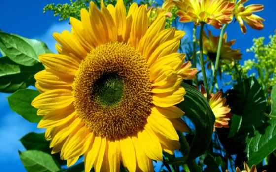 подсолнух, подсолнечника, растение, семена, продам, купить, куплю, исполнитель, любашевка, где,