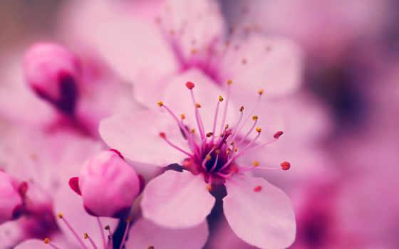 цветы, flowers, soft, природа, desktop, пастель, розовый, high, mobile,