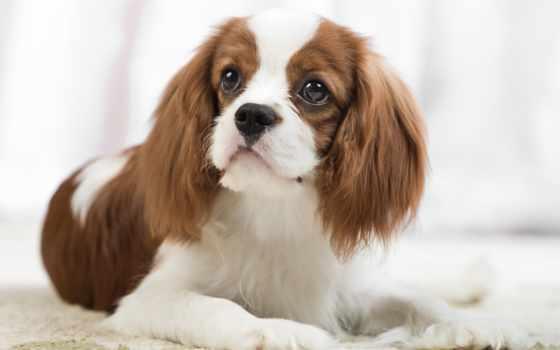 rub, собака, jersey, собаки, dab, породы, женская, собак, казахстане, животных, объявления,