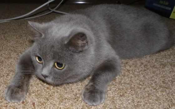 кошки, британские, серенькая, обои, кошек, порода,
