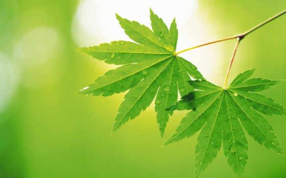 листья, листь, makro