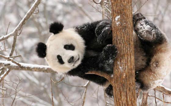 панда, снег, медведь