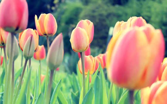 parede, tulipas, papel
