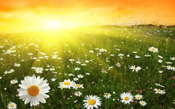 поле, вышивки, ромашковое, схемы, природа, ромашки, flowers, схема, sun, cvety, сюжету,