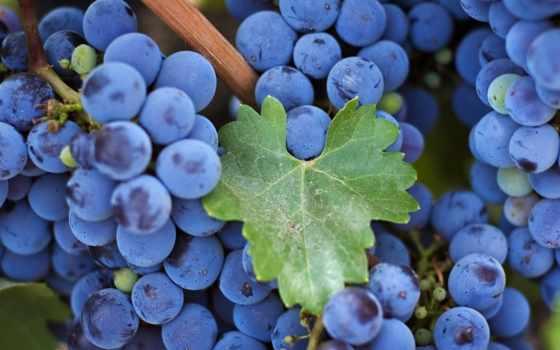 uvas, cheap, colheita, uva, aceite, get, панорама, cosecha, barato,
