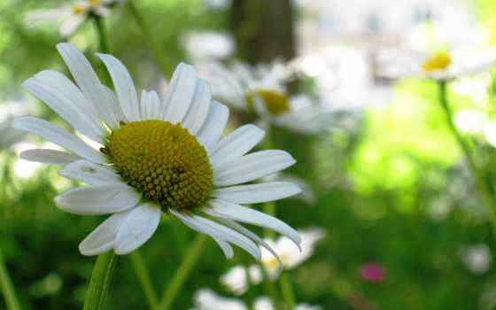 макро, full, daisy, leucanthemum, oxeye,