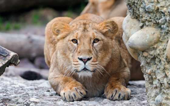 lion, art, корзину, львица, настороженность,