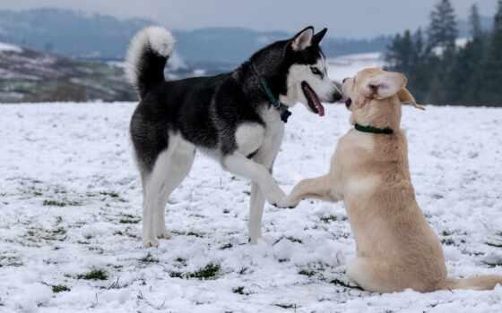 собака, хаски, tail, они, reason, знать