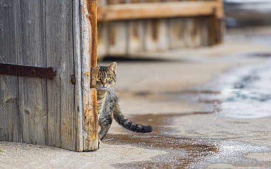 кот за варотами