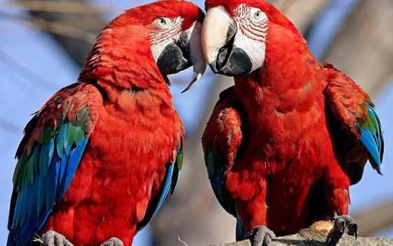 попугаи, птицы, просмотреть