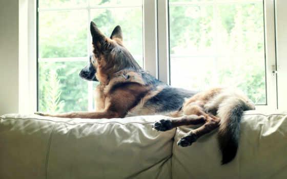 овчарка, немецкая, german, собака, zhivotnye, высококачествен, десктопмания,