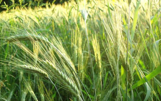 колоски, пшеница, природа,