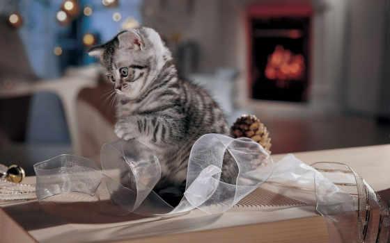 кошки, котенок, zhivotnye, кошками, бант, кот, красивые, серые,