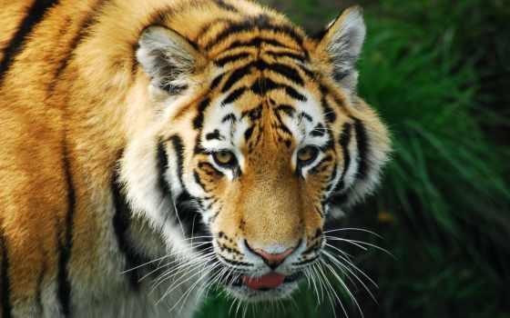 тигр, хищник, зверь, страница, журнала, blank, lined,