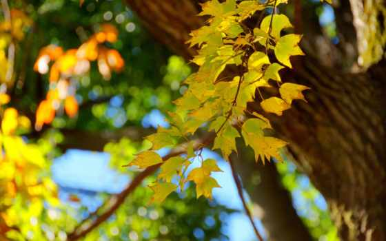 осень, листва, branch