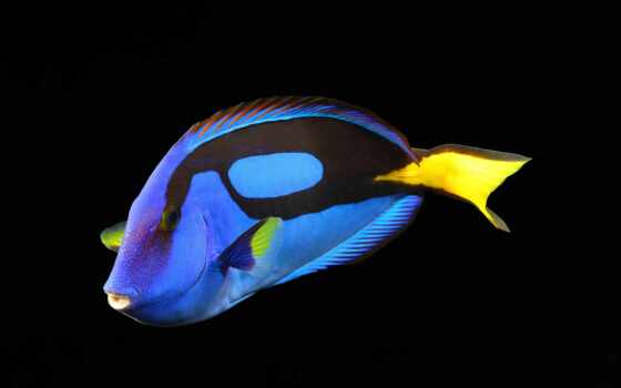 fish, black, surgeonfish, аквариум, animal, blue, water, риф, zheltai, вопрос