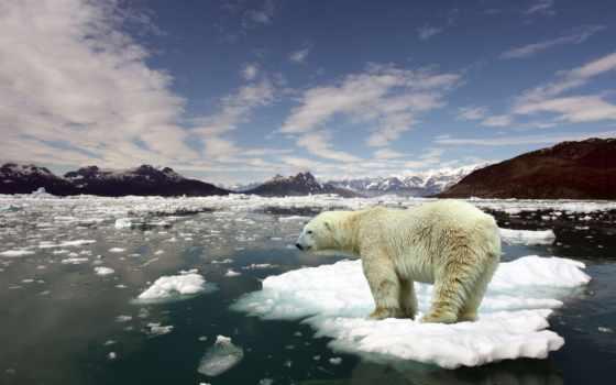 медведи, белых, медведей, медведь, белые, арктика, , можно, льдине,