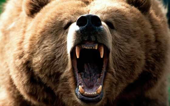 медведя, zhivotnye, медведь