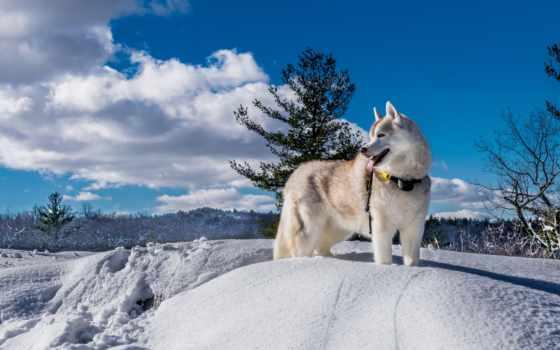 хаски, winter, собака, красивые, снег, заставки, только, daily, природа, собаки,