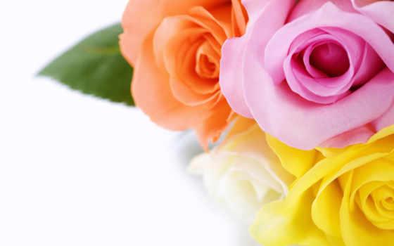 cvety, макро, красивые, тюльпаны, букет, растение, лепестки, растения,