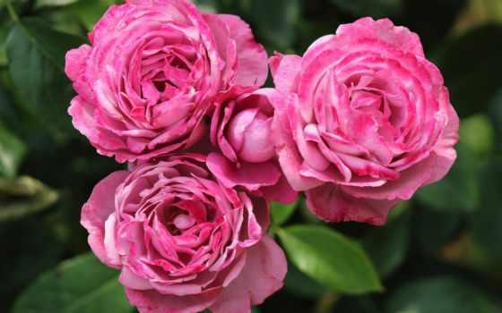 rózsa, rózsák, png, flowers, csodás, imagine, színű, fehér, garden, цветы, cvety,
