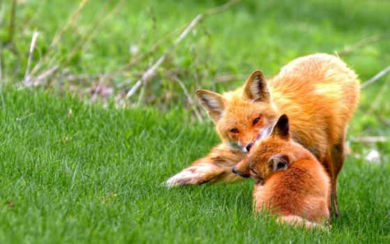 animals, desktop, лисами, фокс, wednesday, cool, красивые,