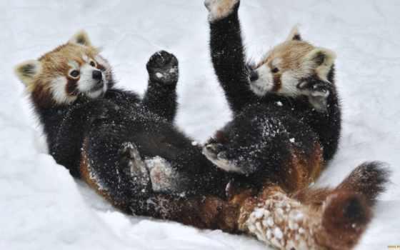 панда, панды, красная, снегу, красные, панд, они, video, zoo, красных, малая,