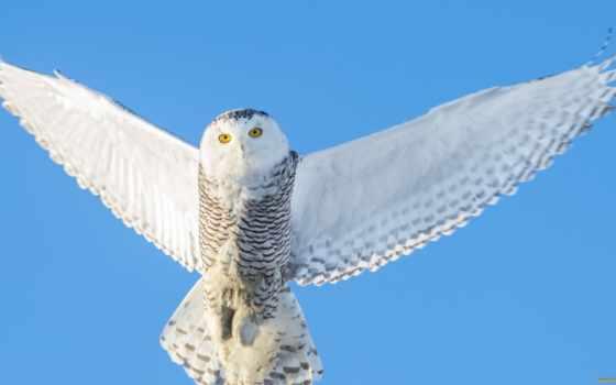 сова, полярная, крылья, полет, снег, птица, белая,
